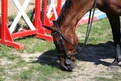 Vollblütiges Showpulloverpferd lassen während des Trainings auf Bahn weiden Stockfotografie