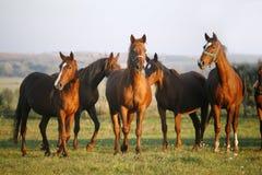 Vollblütige Pferde, die auf einem grünen Gebiet in ländlichem Pasturelan weiden lassen Stockbild