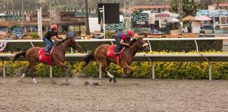 Vollblütige Pferde, die großes Rennen aufwärmen Lizenzfreie Stockbilder
