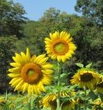 Volle Aufstiegssonnenblumen auf dem Gebiet stockbilder