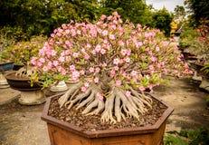 Volle blühende Bäume des Adenium gepflanzt in den Töpfen Stockfotografie