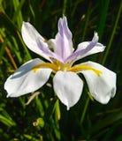 Volle Blüte der Iris stockbild