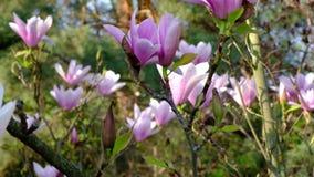 Volle Blüte der Jahreszeit des Magnoliengartens im Frühjahr stock video