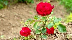 Volle Blüte der roten Rosen lizenzfreie stockbilder