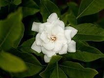 Volle Blüte der schönen Gardenie auf dem Baum lizenzfreie stockbilder