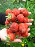 Volle Erdbeeren der Palmen Lizenzfreie Stockfotos