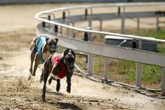 Volle Geschwindigkeit der Windhunde, die an der Rennstrecke läuft Lizenzfreies Stockbild