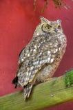 Volle Körper-Ansicht von beschmutztem Eagle Owl Perching Lizenzfreie Stockfotos