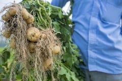 Volle Kartoffeln der Wurzeln zeigen eine Arbeitskraft in Thakurgong, Bangladesch lizenzfreie stockfotos