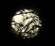 Volle maan achter Gesilhouetteerde Takken Royalty-vrije Stock Afbeelding