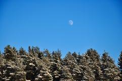 Volle maan in de dag blauwe hemel over het de winterbos van gesneeuwde pijnbomen Stock Foto