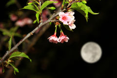 Volle maan en Nacht Cherry Blossom Royalty-vrije Stock Afbeeldingen