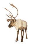 Volledig geïsoleerdr kariboerendier Stock Foto's