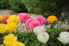 Volledig gebloeide bloemen Stock Afbeelding