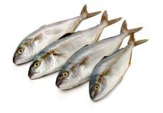 Volledig gekweekte gerijpte die makreel in grote scholen in de oceanen wordt gevonden royalty-vrije stock afbeelding