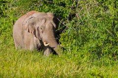 Volledig kader van Wilde olifant (Aziatische olifant) Stock Afbeelding