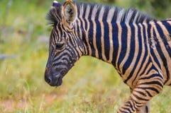 Volledig kaderportret van de Zebra van een leuke Burchell in spelreserve het weiden op groene savanne onder blauwe hemel op een h royalty-vrije stock afbeeldingen