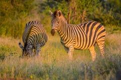 Volledig kaderportret van de Zebra van een leuke Burchell in spelreserve het weiden op groene savanne onder blauwe hemel op een h royalty-vrije stock afbeelding