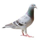 Volledig lichaam die van de vogel van de sportpostduif oogcontact aan nok kijken royalty-vrije stock foto's