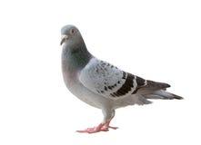 Volledig lichaam die van de vogel van de sportpostduif oogcontact aan nok kijken stock afbeeldingen