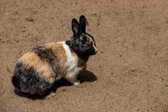 Volledig lichaam van rokerig-bruin-grijs binnenlands pygmy konijn royalty-vrije stock foto