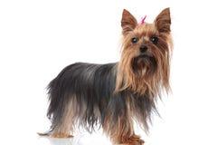 Volledig lichaamsbeeld van een leuke hond van het de terriërpuppy van Yorkshire Royalty-vrije Stock Foto's