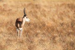 Volledig lichaamsportret van jonge volwassen mannelijke impala, Aepyceros-melampus, in profiel met het lange landschap van de gra royalty-vrije stock fotografie