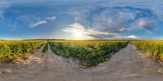 Volledig naadloos sferisch panorama 360 door 180 graden hoek bekijkt binnen op grintweg onder zonnebloemengebieden in zonnige de  royalty-vrije stock afbeeldingen