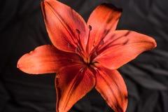 Volledig open dag lilly stock afbeelding