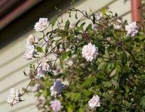 Volledig opgeblazen bleke nevel van Mademoiselle Cecile Brunner - het roze polyanthaliefje nam toe stock foto