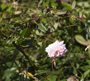 Volledig opgeblazen Mademoiselle bleke Cecile Brunner - het roze polyanthaliefje nam toe stock foto
