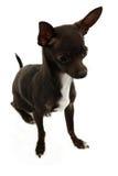 Volledig Schot van Chihuahua Royalty-vrije Stock Afbeelding