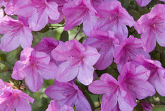 Volledige bloei Stock Foto's