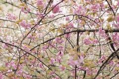Volledige Bloei Cherry Blossom Sakura in Kyoto Japan 2018 Stock Foto's