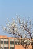 In volledige bloei in de perzikbloesem Stock Foto's