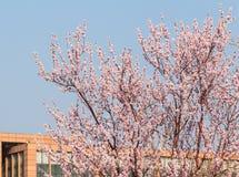In volledige bloei in de perzikbloesem Stock Foto