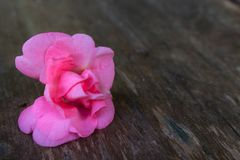 Volledige Bloei Rose Balsam Stock Foto