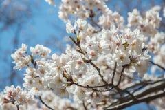 Volledige bloeisakura in Kawaguhiko Stock Afbeelding