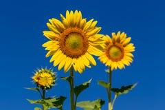 Volledige bloeizonnebloem met blauwe hemel Royalty-vrije Stock Afbeeldingen