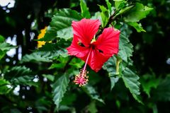 Volledige Bloming-Hibiscus Royalty-vrije Stock Foto