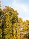 Volledige bomen hoog in hemel blauwe aard als achtergrond zacht lichtgroen l Royalty-vrije Stock Afbeelding
