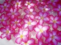 Volledige Kader Roze Bloemen die op Water drijven stock foto's