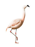 Volledige Lengte van Chileense flamingo (Phoenicopterus-chilensis) Stock Afbeelding