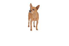 Volledige lengte van een huisdierenhond Stock Fotografie