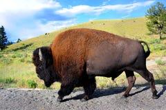 Volledige Lengtebuffels Royalty-vrije Stock Afbeeldingen