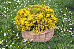 Volledige rieten mand medische bloemen van st Johns wort Midzomerconcept Stock Foto's