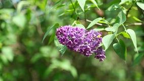 Volledige tot bloei komende purpere bloemcluster van Lilac boom in milde wind, 4K-resolutie stock video