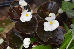 Volledige zon in de was gezette blad witte begonia stock foto's