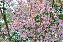Voller blühender Baum der wilden Himalajakirschblume Lizenzfreies Stockbild