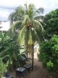 Voller gewachsener Kokosnuss-Baum Lizenzfreies Stockbild